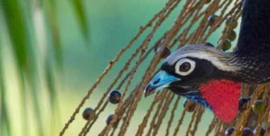 Aves Brasileiras ameaçadas de extinção