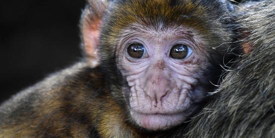 O Macaco não transmite a febre amarela